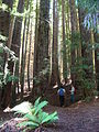 Starr 050831-7731 Sequoia sempervirens.jpg