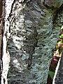 Starr 061231-3044 Prunus persica.jpg