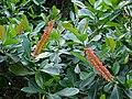 Starr 070321-5980 Norantea guianensis subsp. guianensis.jpg