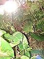 Starr 070321-6011 Epipremnum pinnatum.jpg