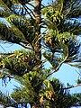 Starr 070519-7145 Araucaria columnaris.jpg
