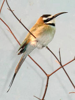 Stavenn Merops albicollis 00