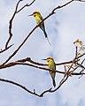 Staying Still 39 - Rainbow Bee-eaters.jpg