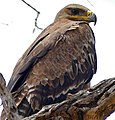 Steppe Eagle (Aquila nipalensis orientalis) (32477787604).jpg