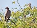 Steppe Eagle in Satara.jpg