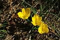 Sternbergia lutea pn2.JPG