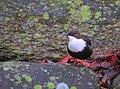 Strömstare White-throated Dipper (20351329975).jpg