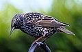 Sturnus vulgaris -England-8.jpg