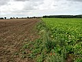 Sugar beet waiting to be harvested - geograph.org.uk - 544839.jpg