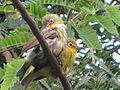 Sulawesi White-eye.JPG