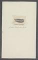 Sulceolaria quadrivalvis - - Print - Iconographia Zoologica - Special Collections University of Amsterdam - UBAINV0274 110 01 0007.tif