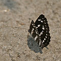 Sullied Sailor (Neptis soma) at Jayanti, Duars, WB W IMG 5429.jpg
