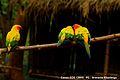 Sun Conure birds.jpg