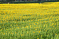 Sunflower festival of Sayo-cho Hyogo Prefecture.JPG