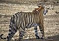 Swagger Of A Royal Bengal Tiger!.jpg