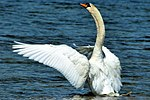 Swan - Rutland Water (18539660636).jpg