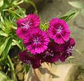Sweet William-Dianthus barbatus (6).JPG