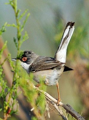 Menetries's warbler - Image: Sylvia mystacea