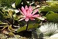 Symbol of Purity – Lotus.jpg
