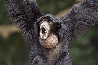 Gibbon - Siamang, Symphalangus syndactylus