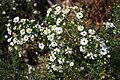 Symphyotrichum ericoides CH-01.jpg