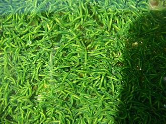 Symsagittifera roscoffensis - S. roscoffensis (in Jersey, Channel Islands)
