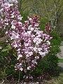 Syringa oblata ssp. dilatata, Arnold Arboretum - IMG 5987.JPG