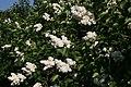 Syringa vulgaris 10zz.jpg