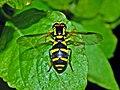 Syrphidae - Xanthogramma pedissequum (female).JPG