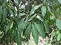 Syzygium hemisphericum 07.jpg