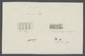 Taenia serrata - - Print - Iconographia Zoologica - Special Collections University of Amsterdam - UBAINV0274 105 19 0006.tif