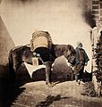 Takaido, Japan; a pack pony wearing straw shoes with its Wellcome V0037650.jpg