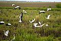 Take off, Esteros Del Ibera, Corrientes, Argentina, 2nd. Jan. 2011 - Flickr - PhillipC.jpg