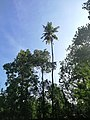 Tall coconut tree photographed In Bowala.jpg