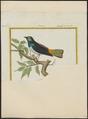 Tangara tatao - 1700-1880 - Print - Iconographia Zoologica - Special Collections University of Amsterdam - UBA01 IZ15900293.tif