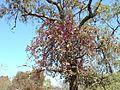 Tapinanthus rubromarginatus, habitus, b, Waterberg.jpg