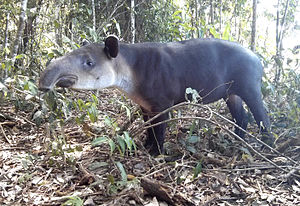 Corcovado National Park - Tapir