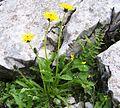 Taraxacum alpinum a1.jpg