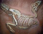 Fossile de Tarbosaurus
