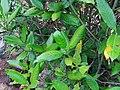 Tarenna asiatica - Asiatic Tarenna 08.jpg