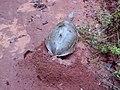 Tartaruga cavando o ninho.jpg