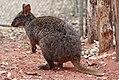 Tasmanian Pademelon - melbourne zoo.jpg