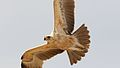 Tawny Eagle, Aquila rapax, pale form at Kgalagadi Transfrontier Park, Northern Cape, South Africa (34190121830).jpg