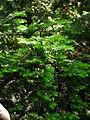 Taxus cuspidata 01.JPG