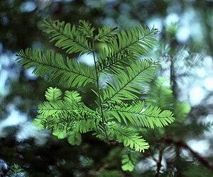 Taxus floridana - Image: Taxus floridana