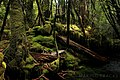 Temperate Rainforest, Lake St Clair Cradle Mountain National Park, Tasmania.jpg