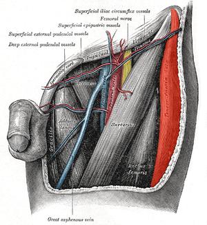 Tensor_fasciae_latae muscle