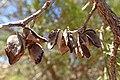 Tetraclinis articulata kz32 Morocco.jpg