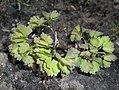 Thalictrum aquilegiifolium 2016-04-22 8713b.JPG