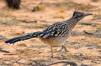 Greater roadrunner - Greater roadrunner walking in the Mojave desert, California